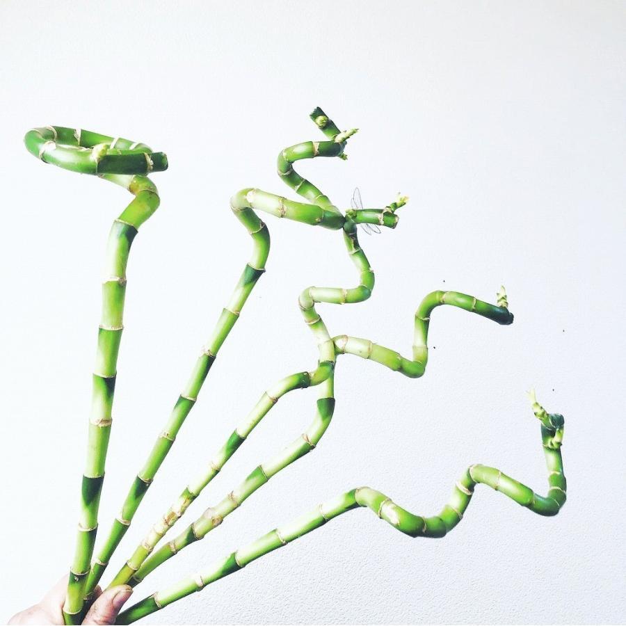 花と雑貨と スパイラルバンブー 2020モデル 1本 ドラセナ ミリオンバンブー 生き続ける 超人気 専門店 切り花