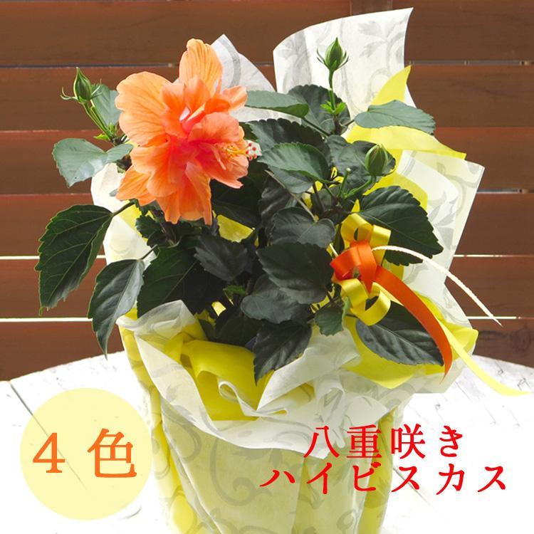 \珍しい八重咲きハイビスカス4色から ハイビスカス マート 八重咲 鉢植え 各色 イエロー レッド オレンジ 誕生日 5号鉢 高さ約40〜50cm ホワイト 花鉢 店内全品対象