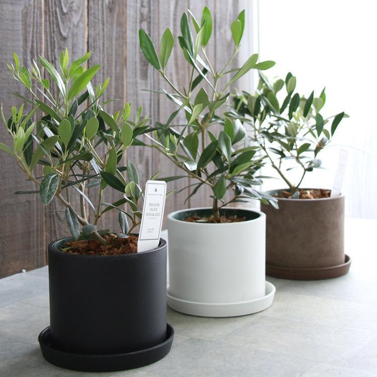 ミニオリーブ 低価格 オリーブの木 高さ30〜45cm前後 選べる鉢 3色 ヒナカゼ テーブル観葉 デスクワーク ミニ観葉 鉢植え 苗木 5%OFF 観葉植物