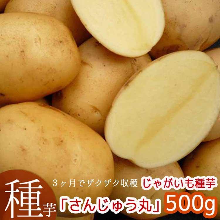 TVでも話題 信憑 秋植え じゃがいも 種イモ さんじゅうまる 500g 夏植え ばれいしょ 当店一番人気 長崎県産 さんじゅう丸 ジャガイモ 種いも