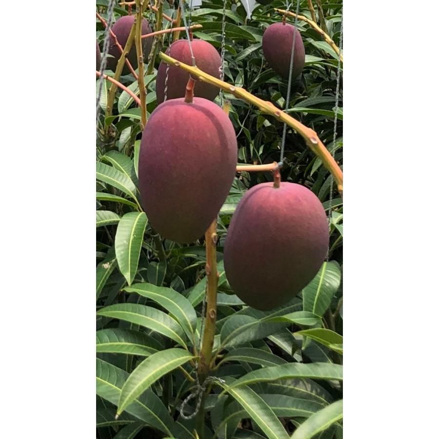 【ご家庭用】 沖縄県産 アップルマンゴー 2kg 4〜6玉  沖縄 マンゴー フル−ツ 沖縄マンゴ−  ご注文日から一週間以内に発送致します|happ-mama|03