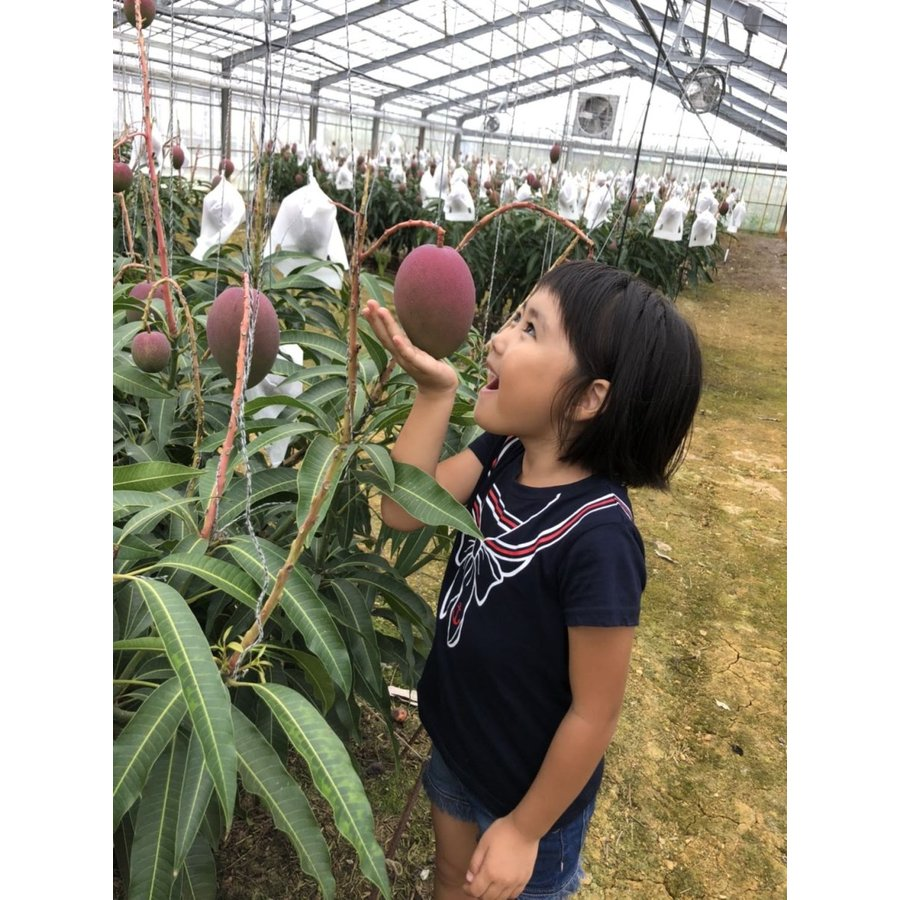 【ご家庭用】 沖縄県産 アップルマンゴー 2kg 4〜6玉  沖縄 マンゴー フル−ツ 沖縄マンゴ−  ご注文日から一週間以内に発送致します|happ-mama|07