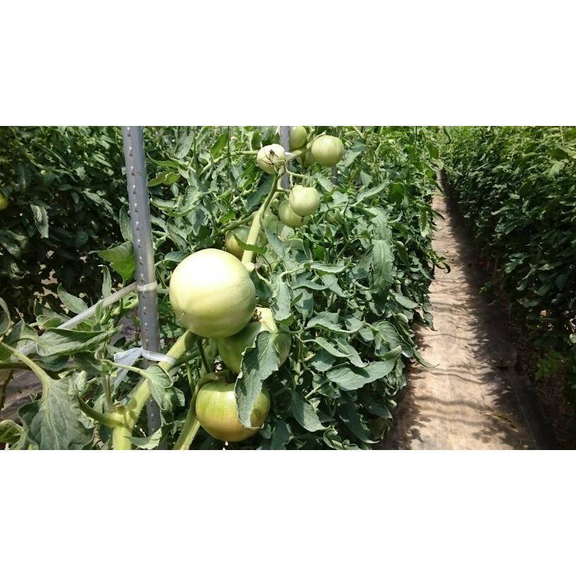 ドライトマト チャックつき 国産桃太郎トマトの旨味がギュッとつまった乾燥トマト10g 生トマト約3個分|hey-com-bicchu|04