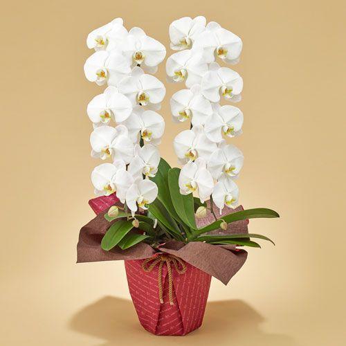 日比谷花壇 「胡蝶蘭(ホワイト)2本立ち」 お祝い 開店祝い 鉢花