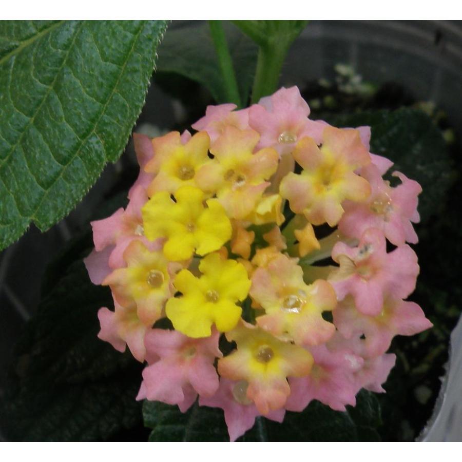 当店農場生産 ランタナ ピンクイエロー 9cmポット苗 大人気 予約 夏に強いお花です☆