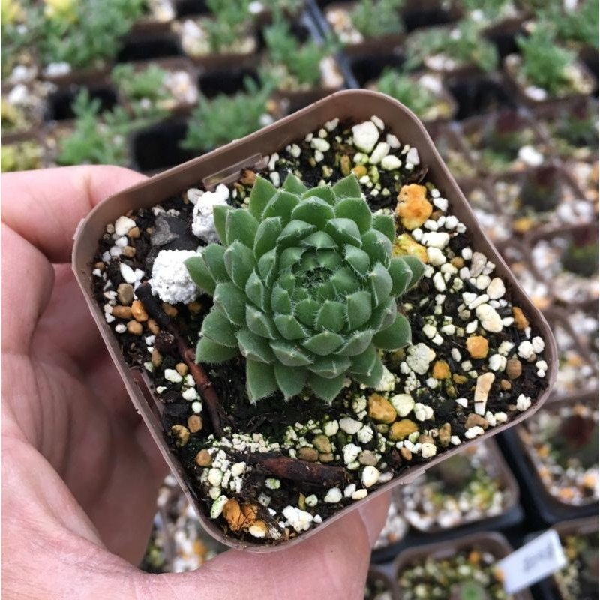 入荷予定 多肉植物 センペルビウム 7.5cmポット苗 ◆在庫限り◆ 夕山桜