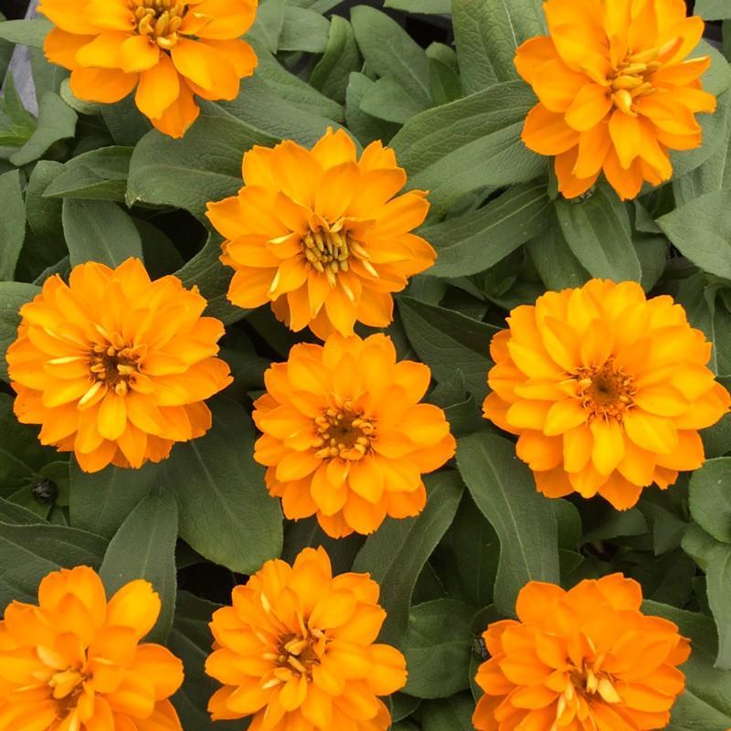 当店農場生産 定番スタイル ジニア ダブルザハラ かわいいお花が咲きます 今ダケ送料無料 ブライトオレンジ 9cmポット苗