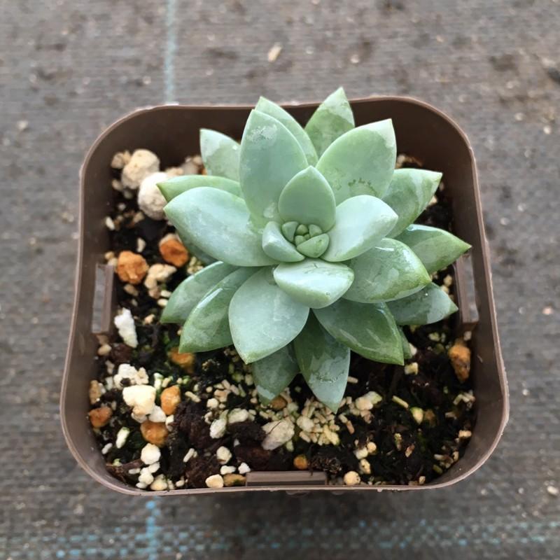 多肉植物 セデベリア スノーキャンディ 春の新作 7.5cmポット苗 オープニング 大放出セール
