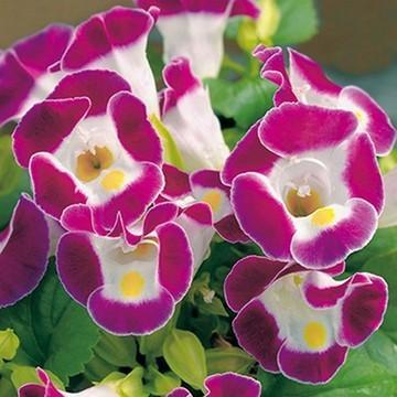 当店農場生産 トレニア 至上 贈呈 バーガンディ 夏に強く長く咲く 花なし 9cmポット苗