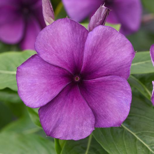 当店農場生産 変わり咲きビンカ タトゥーブルーベリー 9cmポット苗 花の色が変化するビンカ 大特価 ◆在庫限り◆ 花なし