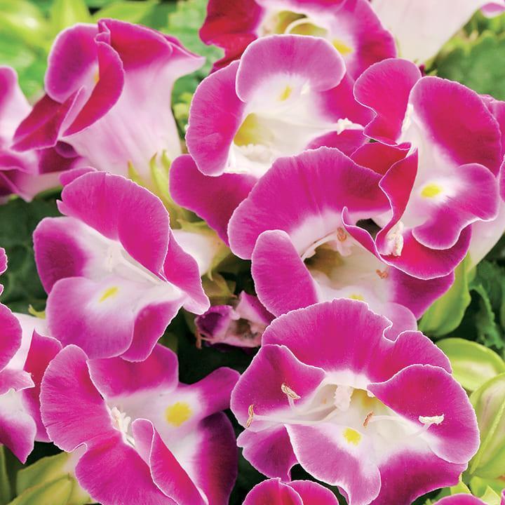 安心の定価販売 買取 当店農場生産 トレニア マゼンタ 9cmポット苗 花なし 夏に強く長く咲く
