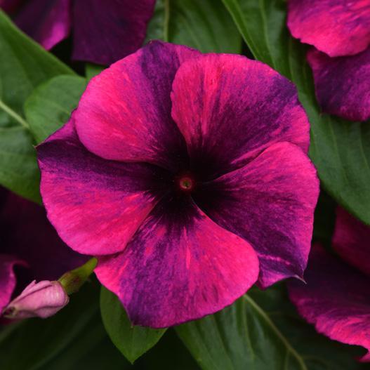 当店農場生産 変わり咲きビンカ タトゥーブラックチェリー 花なし 9cmポット苗 期間限定今なら送料無料 販売 花の色が変化するビンカ