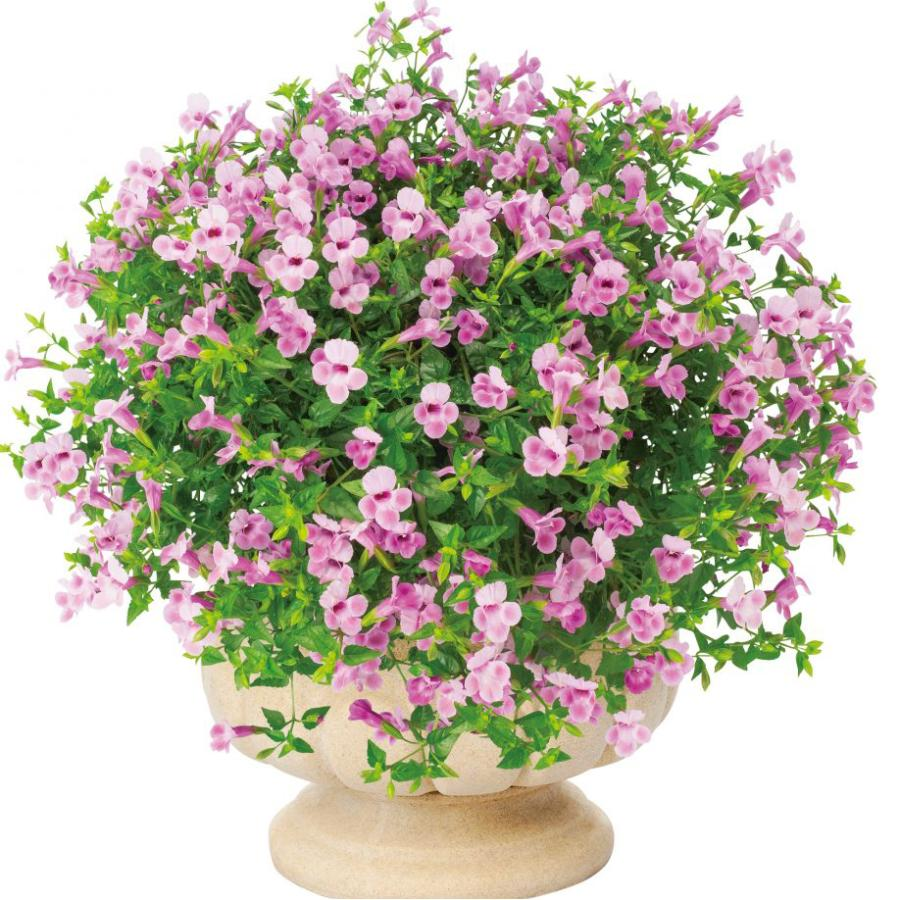 当店農場生産 スーパートレニア カタリーナ 強くて大輪咲き品種 待望 9センチポット苗 上品 ピンクリバー