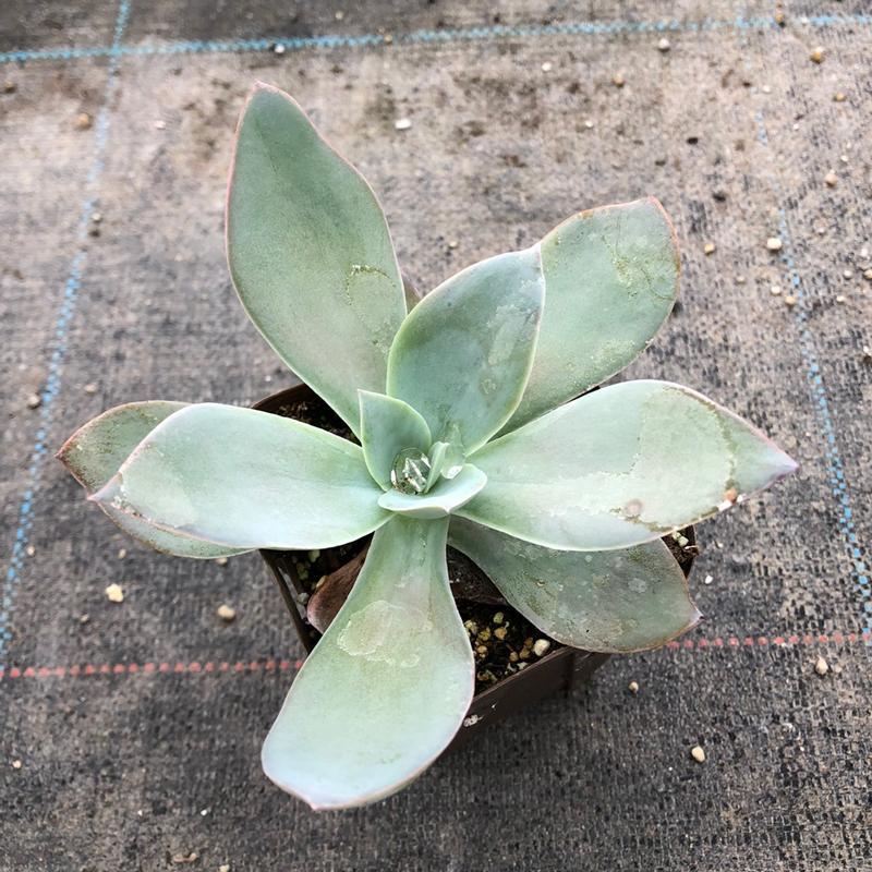 世界の人気ブランド 多肉植物 エケベリア ハイブリット 国内正規品 傷あり 7.5cmポット苗 ホワイトシャドウ