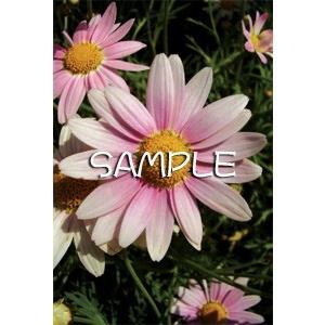 花のポストカード マーガレット(ピンク)|horiya-studio|02