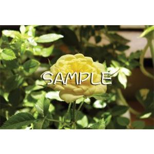花のポストカード バラ(黄色)|horiya-studio|02