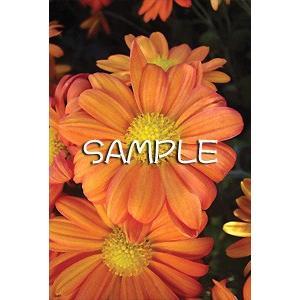 花のポストカード スプレーギク(オレンジ) horiya-studio 02