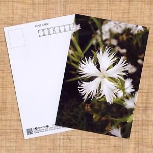花のポストカード ナデシコ(白)|horiya-studio