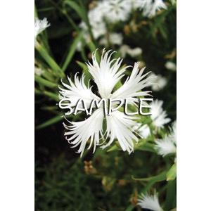 花のポストカード ナデシコ(白)|horiya-studio|02