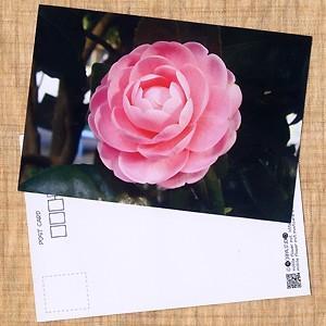 花のポストカード ツバキ(ピンク)|horiya-studio