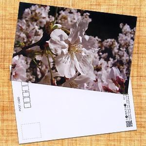 花のポストカード サクラ(ピンク)1|horiya-studio