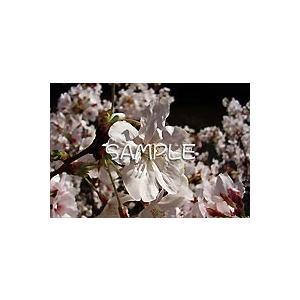 花のポストカード サクラ(ピンク)1|horiya-studio|02
