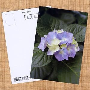 花のポストカード アジサイ(紫)|horiya-studio
