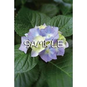 花のポストカード アジサイ(紫)|horiya-studio|02