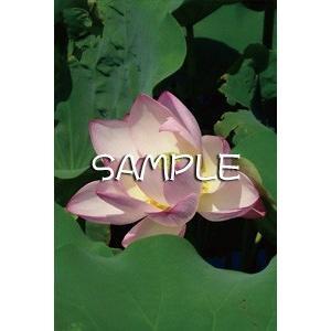 花のポストカード ハス(ピンク)|horiya-studio|02