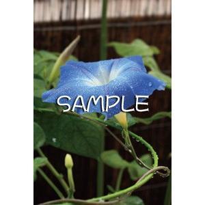 花のポストカード アサガオ(青)|horiya-studio|02