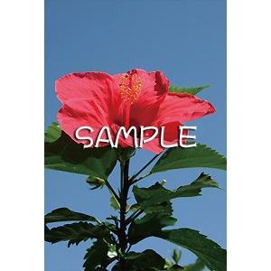 花のポストカード ハイビスカス(赤) horiya-studio 02