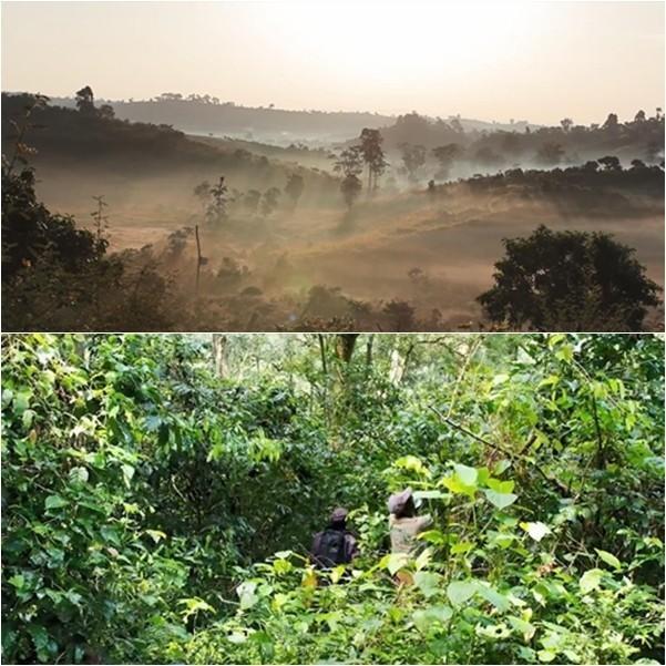 エチオピア・ゲシャビレッジ農園 幻のコーヒーといわれるゲシャ種コーヒー 100g hot1 02