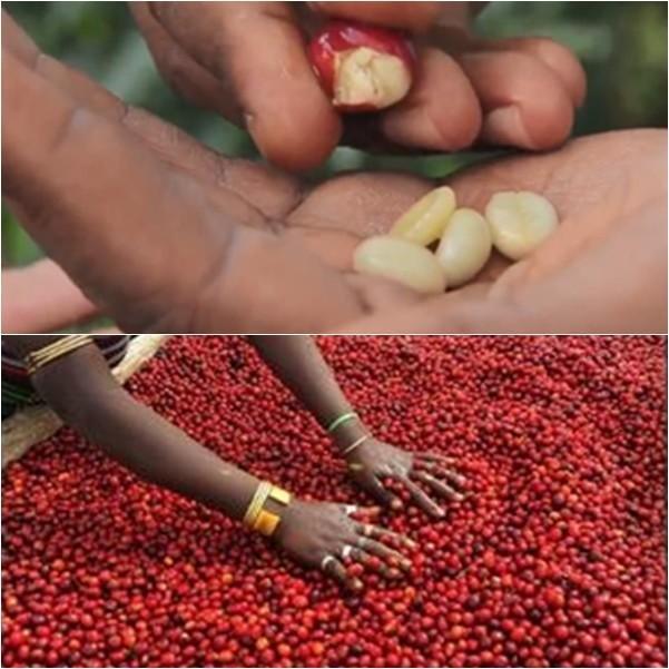 エチオピア・ゲシャビレッジ農園 幻のコーヒーといわれるゲシャ種コーヒー 100g hot1 03