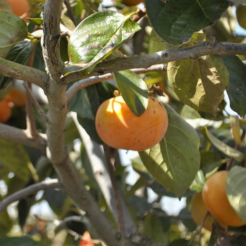 「ひょうごふるさと館」神戸咲く咲くHarmony 太秋柿チップス(640-5)|hyogo-tokusanhin|04