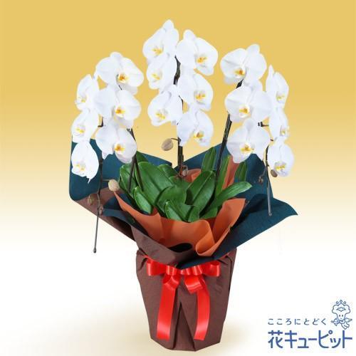 花鉢(胡蝶蘭·洋蘭) お祝い 記念日 開店 開業 オープン 花キューピットの胡蝶蘭 3本立(開花輪白18以上)オレンジ系ラッピング
