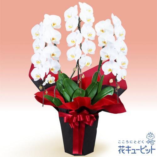 花鉢(胡蝶蘭·洋蘭) お祝い 記念日 開店 開業 オープン 花キューピットの胡蝶蘭 3本立(開花輪白27以上)赤系ラッピング