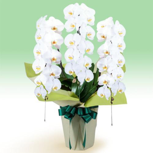 春のお彼岸 供花 お悔やみ 仏花 献花 お供え 花キューピットのお供え胡蝶蘭 3本立(開花輪白33以上)