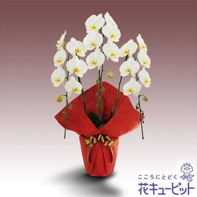 お祝い 花 誕生日 記念日 歓送迎 結婚祝い花キューピットの胡蝶蘭 3本立(開花輪白18以上)赤系ラッピング