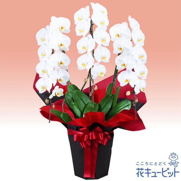 お祝い 花 誕生日 記念日 歓送迎 結婚祝い花キューピットの胡蝶蘭 3本立(開花輪白27以上)赤系ラッピング