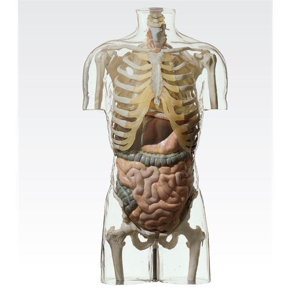 送料無料透明トルソ/人体解剖模型 〔消化器系人体モデル〕 等身大 1体型モデル J-113-4〔代引不可〕