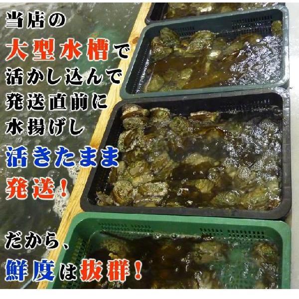 活蝦夷アワビ  100g 1個[あわび] isemaruka 03