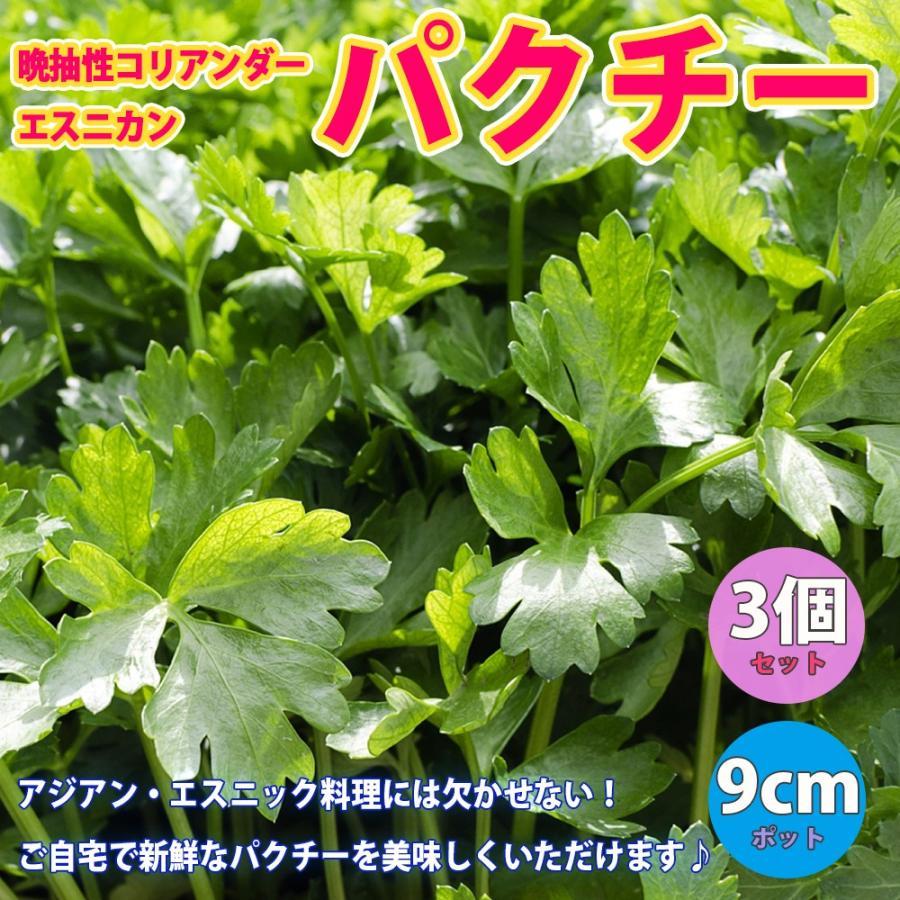 パクチー苗 超激安特価 品種:晩抽性コリアンダー エスニカン 野菜苗 捧呈 9cmポット 3個セット 送料無料