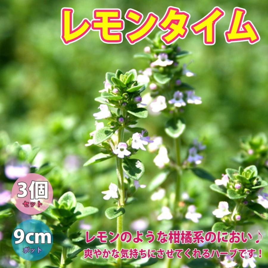 ハーブ苗 日本最大級の品揃え レモンタイム 至高 9cmポット 送料無料 3個セット