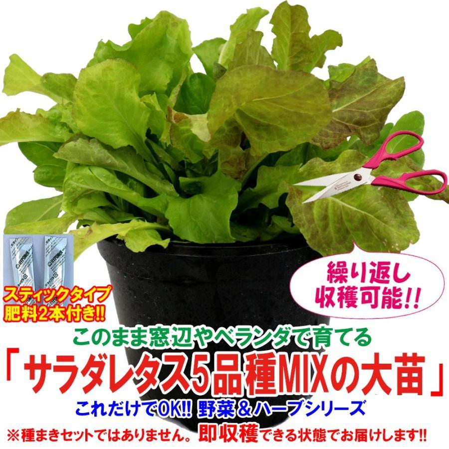 レタス苗 サラダレタス5品種MIXの大苗 野菜苗 BN硬質18cmポット 人気ブレゼント 肥料付き 1個 送料無料 メーカー在庫限り品 栽培セット