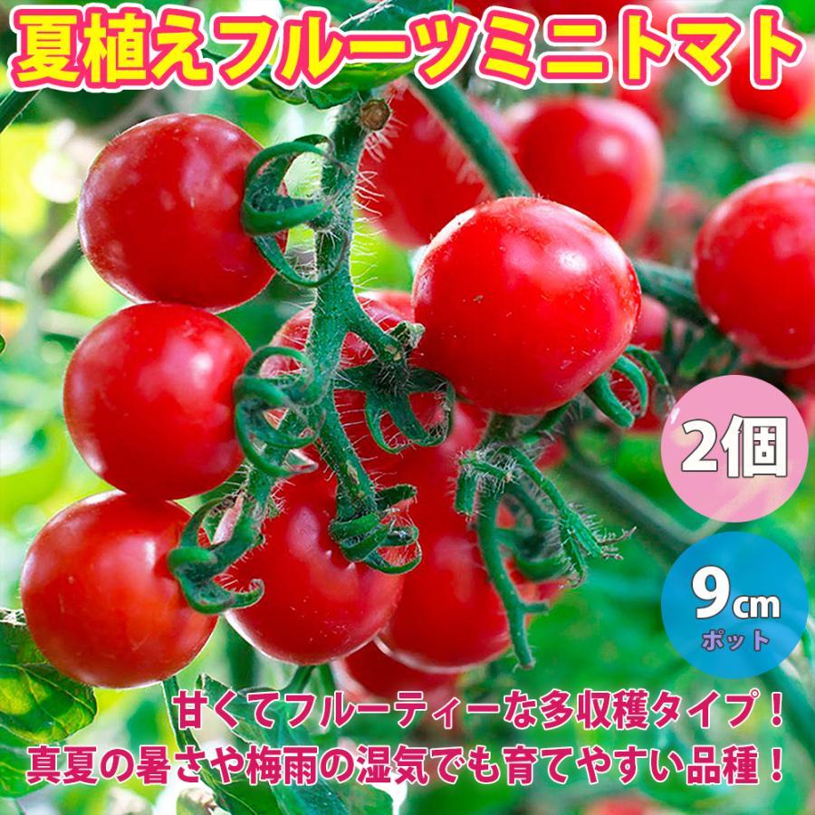 ミニトマト苗 夏植えフルーツミニトマト 通常便なら送料無料 野菜苗 自根苗 送料無料 気質アップ 9cmポット 2個セット