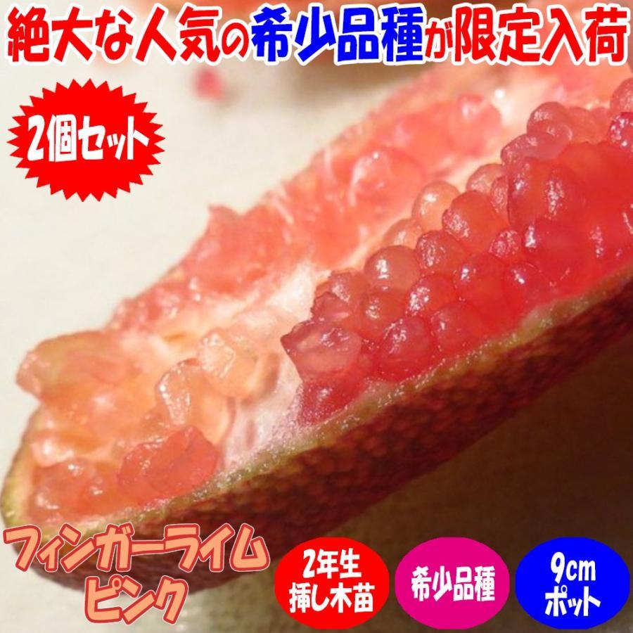 フィンガーライム苗 ピンク 日本正規代理店品 AL完売しました 果樹苗 挿し木苗 9cmポット 送料無料 2個セット キャビア 人気の柑橘類の苗 ライム