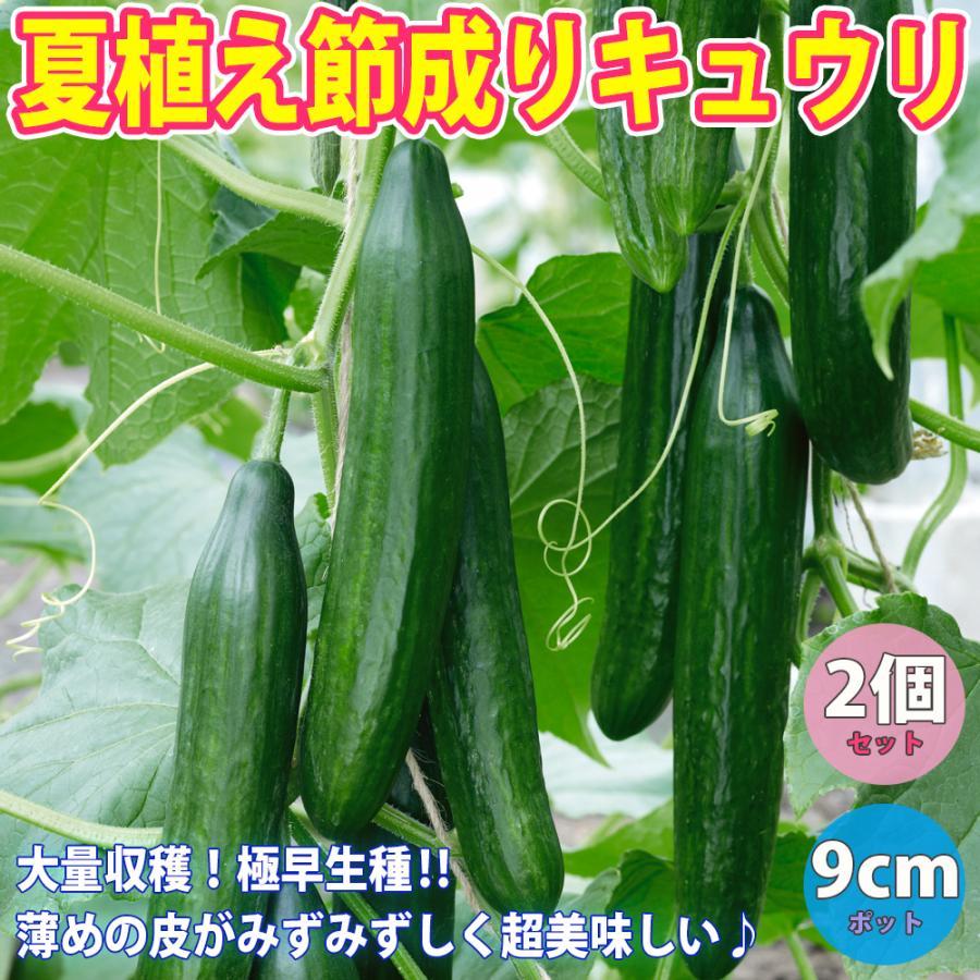 出色 キュウリ苗 マート 夏植え節成りきゅうり 野菜苗 自根苗 9cmポット 2個セット 送料無料