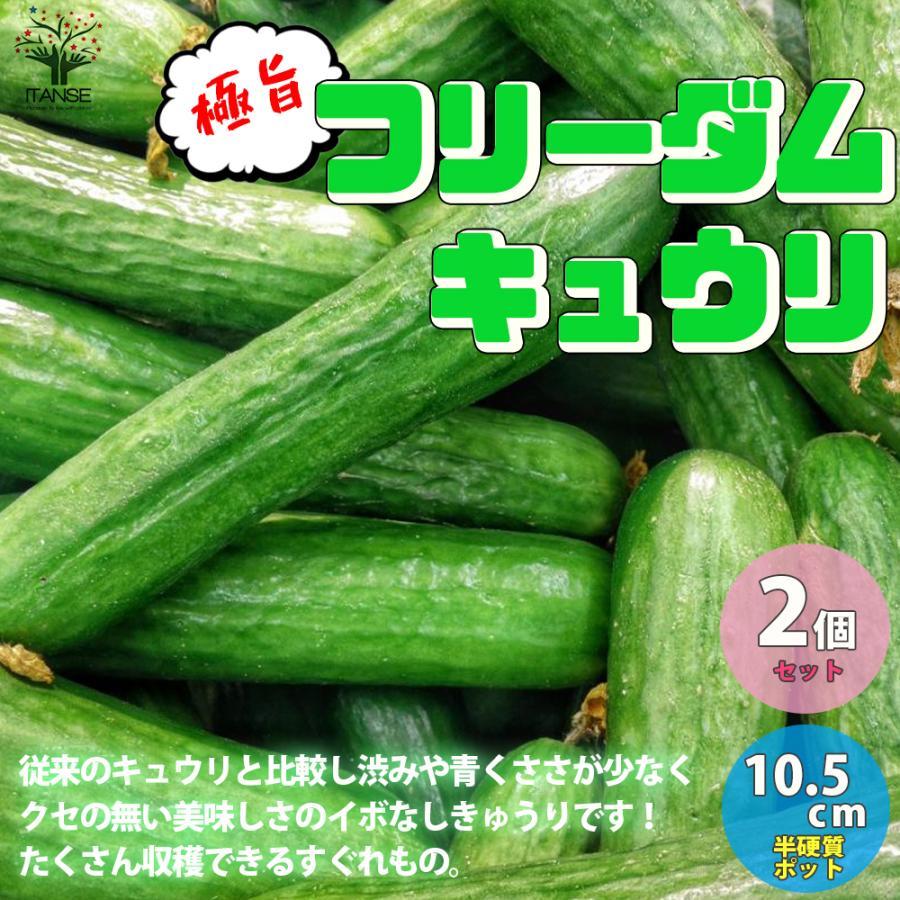 きゅうりの苗 極旨フリーダムきゅうり 高品質 野菜の苗 自根苗 10.5cmポット 超安い お買い得2個セット 人気 収穫 送料無料 簡単栽培 家庭菜園