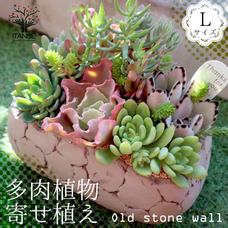 多肉植物 寄せ植え Old stone wall L(古い石垣L) 多肉植物  サイズイメージ:高さ約21cm×幅約23cm×奥行約13cm 1個売り  送料無料|itanse