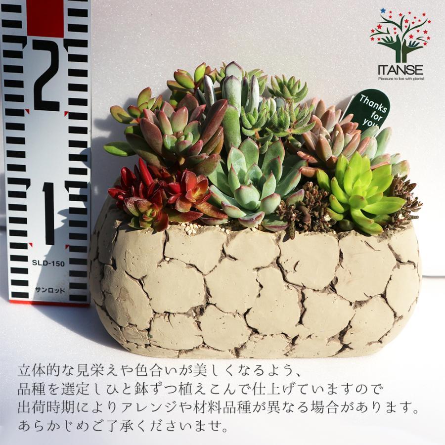 多肉植物 寄せ植え Old stone wall L(古い石垣L) 多肉植物  サイズイメージ:高さ約21cm×幅約23cm×奥行約13cm 1個売り  送料無料|itanse|02
